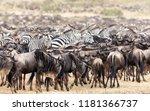 herds of wildebeest and zebra... | Shutterstock . vector #1181366737