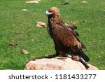 a solitary eagle sits on a... | Shutterstock . vector #1181433277