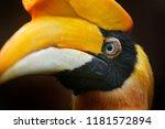 great hornbill  buceros... | Shutterstock . vector #1181572894
