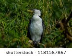 black and white bird in green... | Shutterstock . vector #1181587867