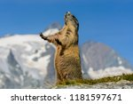 A Marmot Posing In Front Of A...