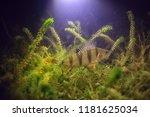 river perch underwater photo  ... | Shutterstock . vector #1181625034