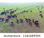 steers fed with natural grass ... | Shutterstock . vector #1181689504