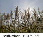 reed flowers in full bloom on...   Shutterstock . vector #1181740771