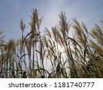 reed flowers in full bloom on...   Shutterstock . vector #1181740777