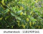 common barberry   it is... | Shutterstock . vector #1181909161