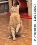 Stock photo funny tabby red kitten ginger red kitten 1181920024