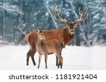 a noble deer male with female... | Shutterstock . vector #1181921404