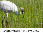 Whooping crane ( Grus Americana),beautiful cranes in north America.All the Whooping granes in the world is 757 pieces.
