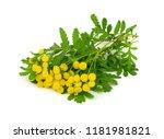 tansy medicinal herb flower... | Shutterstock . vector #1181981821