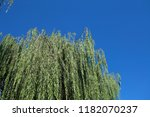 weeping willow under the blue...   Shutterstock . vector #1182070237