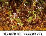 crofton weed flowers white weed ... | Shutterstock . vector #1182158071