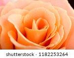 rose flower macro studio shot | Shutterstock . vector #1182253264