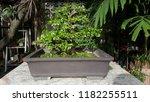 bonsai plant  tree in a pot | Shutterstock . vector #1182255511