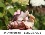 big african snail in the nature   Shutterstock . vector #1182287371
