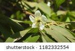 jam tree flower close up   Shutterstock . vector #1182332554