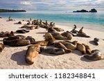 Galapagos Sea Lions  Zalophus...