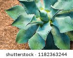 agave succulent plant agave... | Shutterstock . vector #1182363244