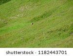 marmot sitting on a green grass ... | Shutterstock . vector #1182443701