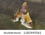 the meal moth  pyralis... | Shutterstock . vector #1182445561