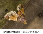 the meal moth  pyralis... | Shutterstock . vector #1182445564