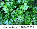 organic fresh parsley growing... | Shutterstock . vector #1182455251