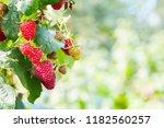 raspberries. growing organic... | Shutterstock . vector #1182560257