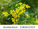 yellow flowers of common tansy  ... | Shutterstock . vector #1182611314
