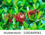 beautiful spike flower blooming ... | Shutterstock . vector #1182669061