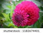 hot pink 'franz kafka' pompon...   Shutterstock . vector #1182674401