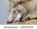 Warthog At A Watering Hole On ...