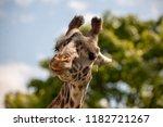 the giraffe is a african mammal ... | Shutterstock . vector #1182721267
