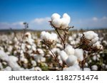 Cotton field  turkey izmir