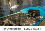 a eurasian coot watches...   Shutterstock . vector #1182846154