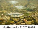 freshwater fish riffle minnow ... | Shutterstock . vector #1182854674