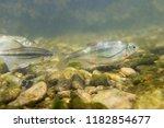 freshwater fish riffle minnow ... | Shutterstock . vector #1182854677