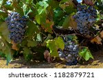 black wine grapes on vine with... | Shutterstock . vector #1182879721