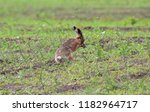 Stock photo the hare is washed by the front paws after running through the field with wet grass covered with 1182964717