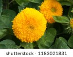 helianthus annuus teddy bear... | Shutterstock . vector #1183021831