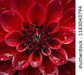 close up on center red dahlia... | Shutterstock . vector #1183043794