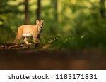 eurasian lynx  lynx lynx   nice ...   Shutterstock . vector #1183171831