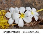 plumeria flowers on stone ... | Shutterstock . vector #1183204651
