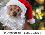 Stock photo a dog in a santa claus hat and with a white beard against a background of elegant pine the concept 1183263397