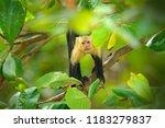 white headed capuchin  black...   Shutterstock . vector #1183279837
