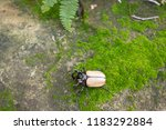 beetles   insect   the five... | Shutterstock . vector #1183292884