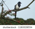 a eurasian magpie perched on...   Shutterstock . vector #1183328554