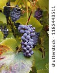 grape with autumn leaves in... | Shutterstock . vector #1183443511