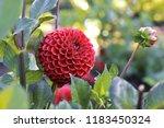 dahlia with drops of water in... | Shutterstock . vector #1183450324