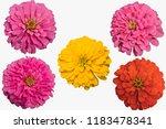 set zinnia  isolated on white... | Shutterstock . vector #1183478341