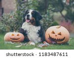 bernese mountain dog with... | Shutterstock . vector #1183487611
